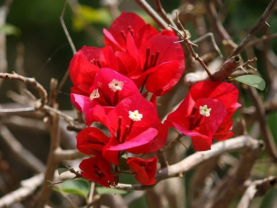 ดอกเฟื่องฟ้าสีแดง