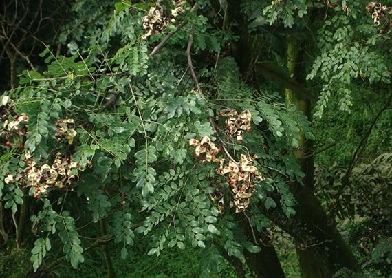 ต้นมะกล่ำตาช้าง