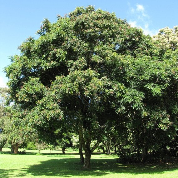 ต้นมะกล่ำต้น