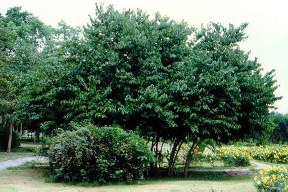 ต้นมะกา