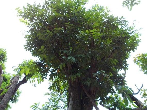 ต้นมะค่าแต้