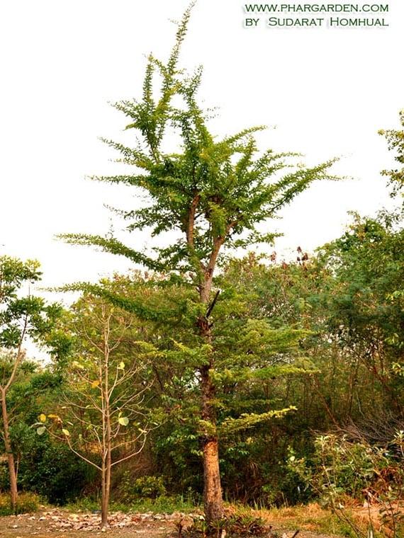 ต้นมะสัง