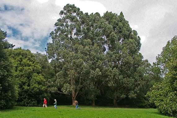 ต้นยูคาลิปตัส