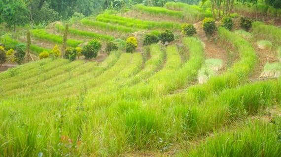 ต้นหญ้าแฝก