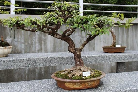 ต้นโมกบอนไซ