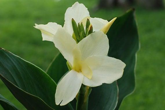 พุทธรักษาดอกขาว
