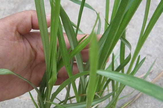 ใบหญ้าแฝก