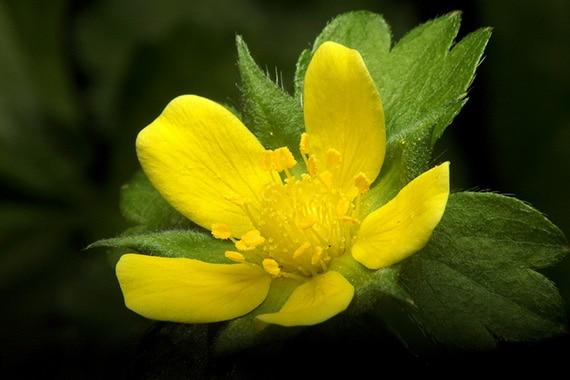 ดอกสตรอเบอร์รี่ป่า