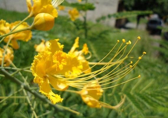 ดอกหางนกยูง