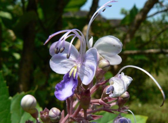 ดอกอัคคีทวาร