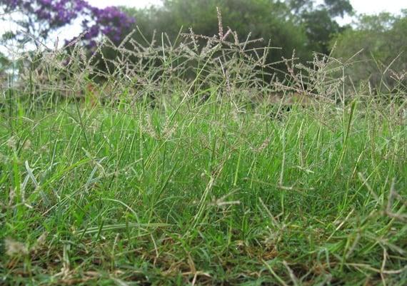 ต้นหญ้าแพรก