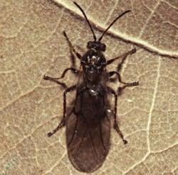 Cynips-gallaetinctoriae-Olevier