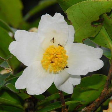 ดอกชาอัสสัม