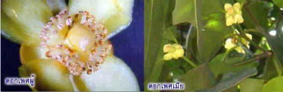 ดอกพะวา