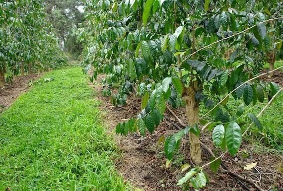 ต้นกาแฟอาราบิก้า