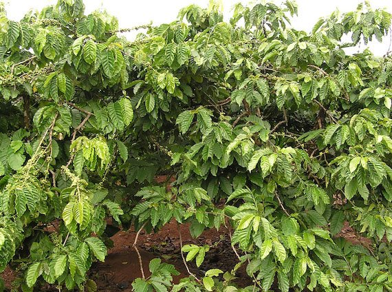 ต้นกาแฟโรบัสต้า
