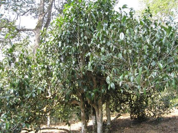 ต้นชาอัสสัม