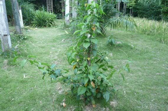 ต้นผักเชียงดา