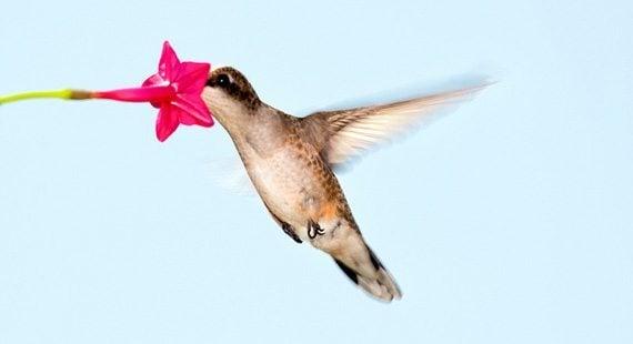 นกฮัมมิ่งเบิร์ดกับดอกคอนสวรรค์