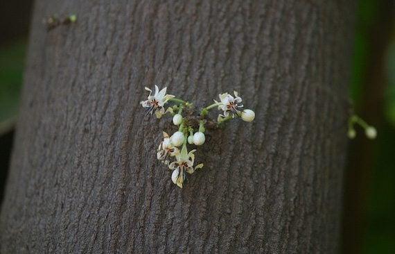 ดอกต้นโกโก้