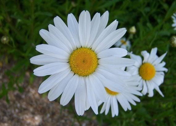 ดอกแอสเตอร์สีขาว