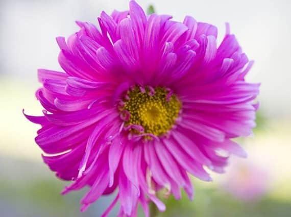 ดอกแอสเตอร์สีชมพู