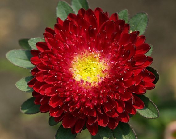 ดอกแอสเตอร์สีแดง