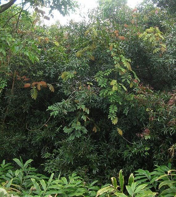 ต้นหางไหลแดง