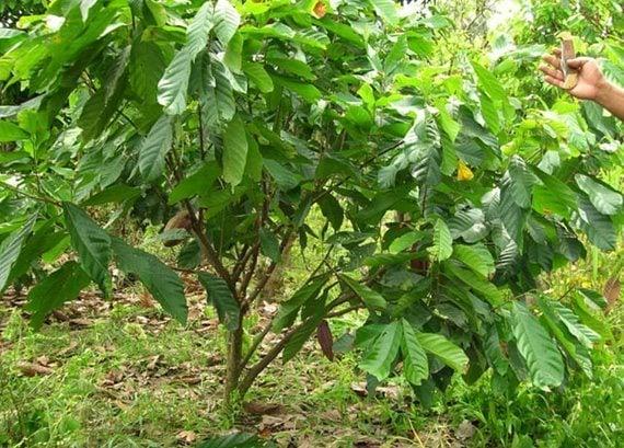 ต้นโกโก้