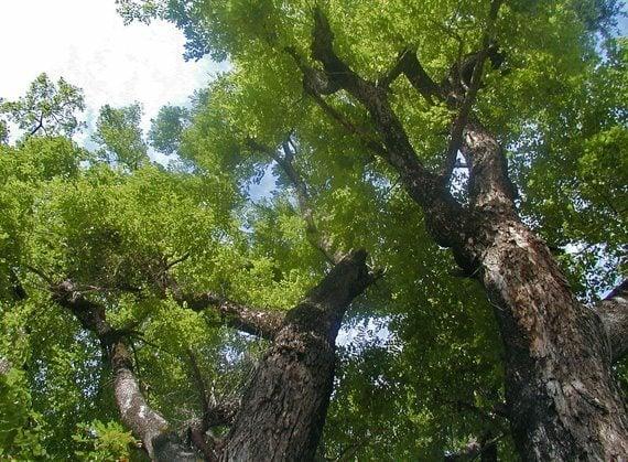 ผลการค้นหารูปภาพสำหรับ ประดู่ป่า