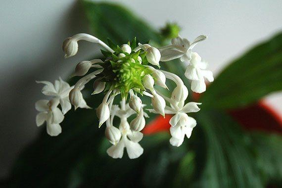 อั้วดอกขาว