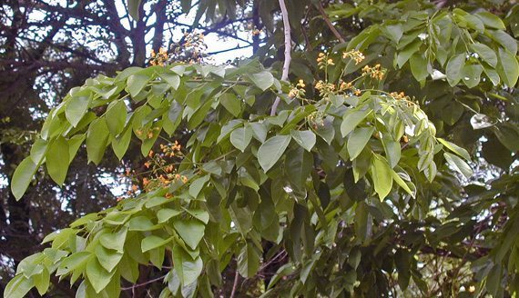 ใบประดู่ป่า