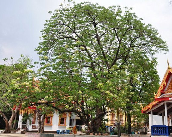 ต้นสะเดาอินเดีย