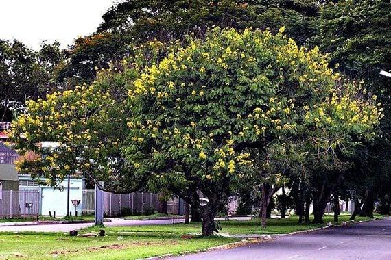 ต้นสุวรรณพฤกษ์