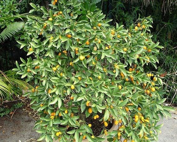 ต้นส้มจี๊ด