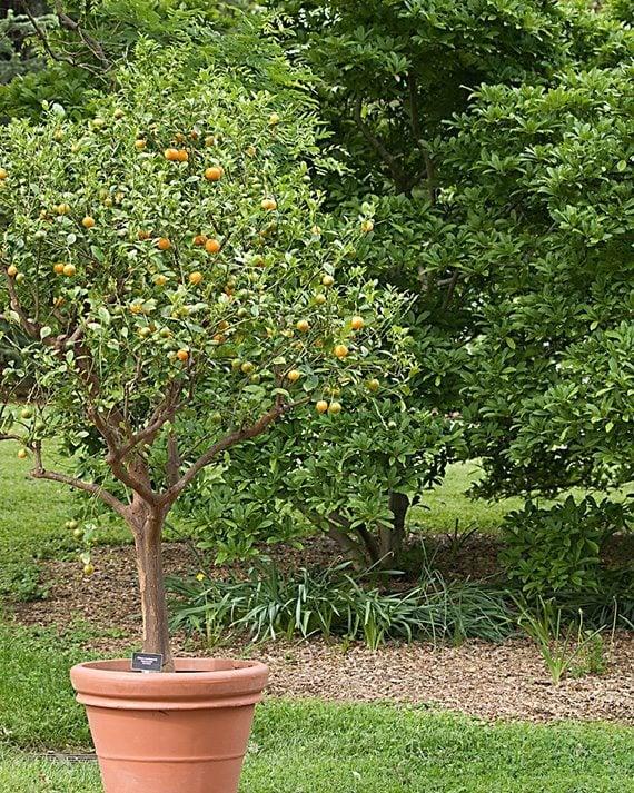 ต้นส้มมะปิด