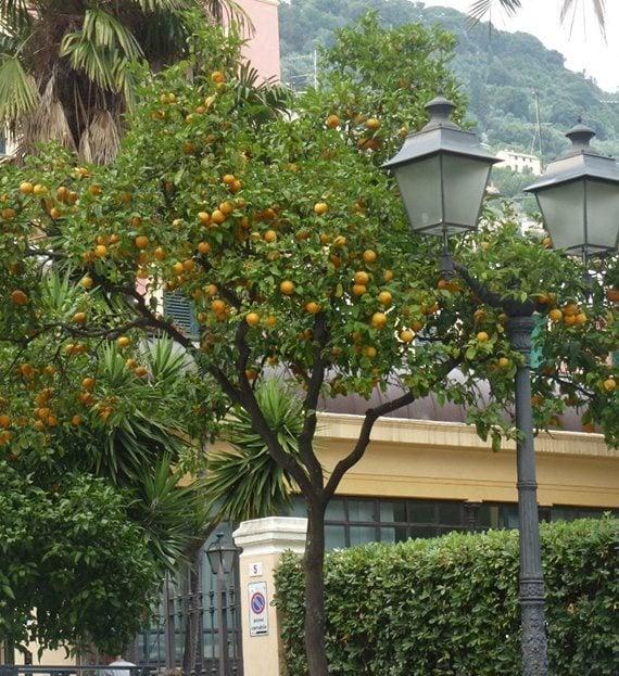 ต้นส้มเกลี้ยง