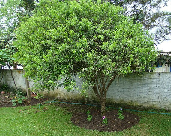 ต้นส้มเขียวหวาน
