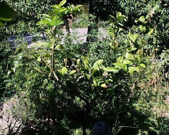 ต้นส้มโอมือ