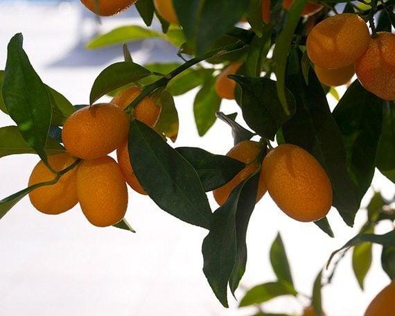 ผลส้มจี๊ด