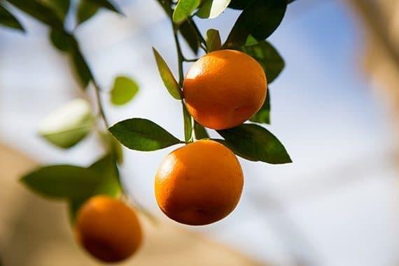 ผลส้มมะปิด