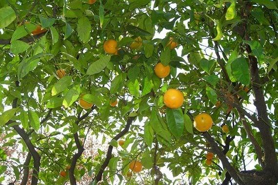 ผลส้มเกลี้ยง