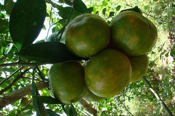 ผลส้มเขียวหวาน