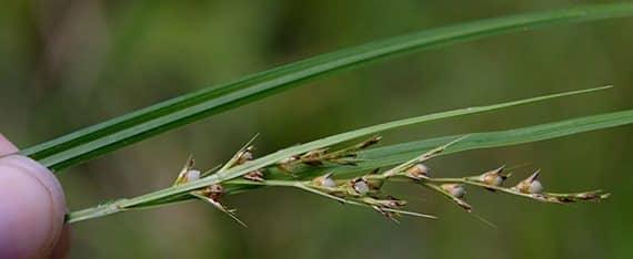 รูปหญ้าสามคม