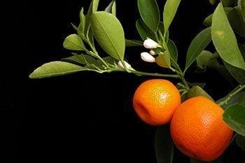 ส้มมะปิด