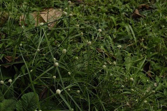 หญ้าหัวโม่ง