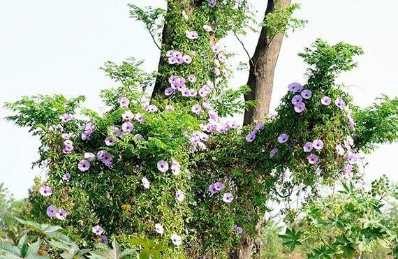 ต้นผักบุ้งรั้ว