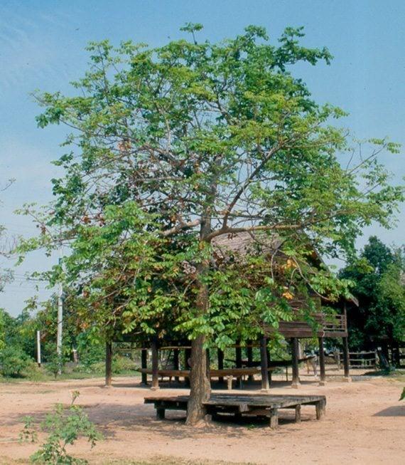 ต้นมะกอกเกลื้อน