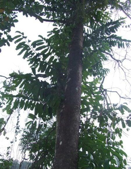 ต้นมะดูก