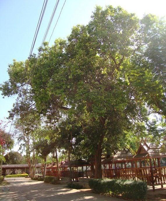 ต้นมะพอก